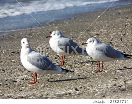検見川浜の砂浜に降り立ったユリカモメ 27327714