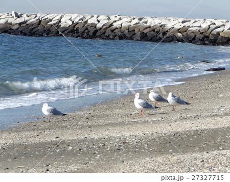 検見川浜の砂浜に降り立ったユリカモメ 27327715
