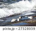 検見川浜の海岸で採餌するミユビシギ 27328039