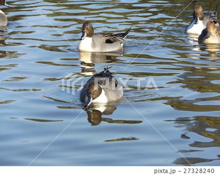 稲毛海浜公園の池に飛来したオナガガモ 27328240