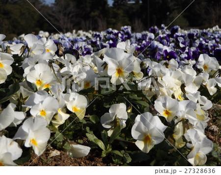 白色の花のビオラ 27328636