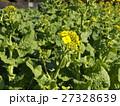 早咲きの黄色いナバナ 27328639