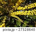 黄色い花はマホニアチャリテイ 27328640