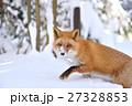 キタキツネ 狐 哺乳類の写真 27328853