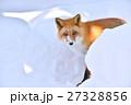 キタキツネ 狐 哺乳類の写真 27328856