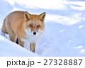 キタキツネ 狐 哺乳類の写真 27328887