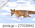 キタキツネ 狐 哺乳類の写真 27328942