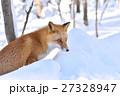 キタキツネ 狐 哺乳類の写真 27328947