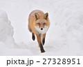 キタキツネ 狐 哺乳類の写真 27328951