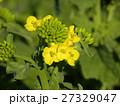 ナバナ 花 一年草の写真 27329047
