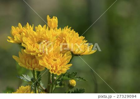 菊の花 27329094