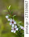 マヌカ 花 ギョリュウバイの写真 27339867