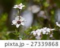 マヌカ 花 ギョリュウバイの写真 27339868