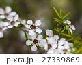 マヌカ 花 ギョリュウバイの写真 27339869