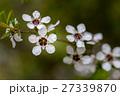 マヌカ 花 ギョリュウバイの写真 27339870