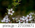 マヌカ 花 ギョリュウバイの写真 27339871