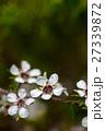 マヌカ 花 ギョリュウバイの写真 27339872