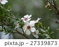 マヌカ 花 ギョリュウバイの写真 27339873