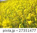 土手に咲く菜の花 27351477