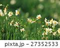 水仙 花 花畑の写真 27352533