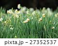 水仙 花 花畑の写真 27352537