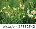水仙 花 花畑の写真 27352542