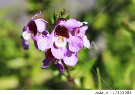 アゲロニアの花 27355088