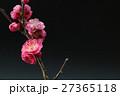 梅 ピンク 黒背景 27365118