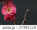 梅 花 紅梅の写真 27365119