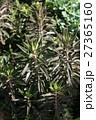 不死鳥/カランコエ 27365160