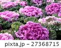 葉牡丹 植物 アブラナ科の写真 27368715