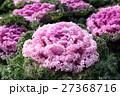 葉牡丹 植物 アブラナ科の写真 27368716