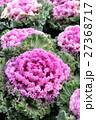 葉牡丹 植物 アブラナ科の写真 27368717