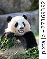 パンダ⑤ 27369392