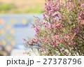 エリカの花 27378796