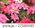 ポインセチアの花 27380585