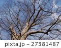 若宮八幡宮に立つケヤキ(茨城県常陸太田市) 27381487