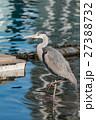 鳥 青鷺 蒼鷺の写真 27388732