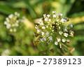 ペンペン草 植物 ナズナの写真 27389123