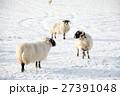 雪の積もるフィールドにたたずむ羊たち スコットランド郊外にて 27391048