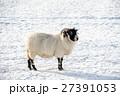 雪の積もるフィールドにたたずむ羊 スコットランド郊外にて 27391053