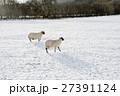 雪の積もるフィールドにたたずむ羊たち スコットランド郊外にて 27391124