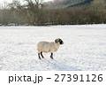 雪の積もるフィールドにたたずむ羊 スコットランド郊外にて 27391126