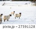 雪の積もるフィールドにたたずむ羊たち スコットランド郊外にて 27391128