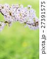 桜 花 咲くの写真 27391575