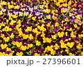 春色【ビオラ】 27396601