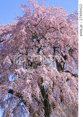 中井田の桜(郡山市) 27400422