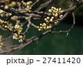 蕾(スモモの花) 27411420