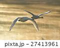 コハクチョウ 白鳥 鳥の写真 27413961
