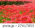 彼岸花 ヒガンバナ科 曼珠沙華の写真 27417853